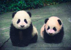 cute_baby_pandas_edit